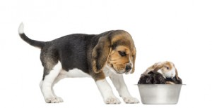 Beagle puppy looking at his bowl full of rabbits, isolated on white